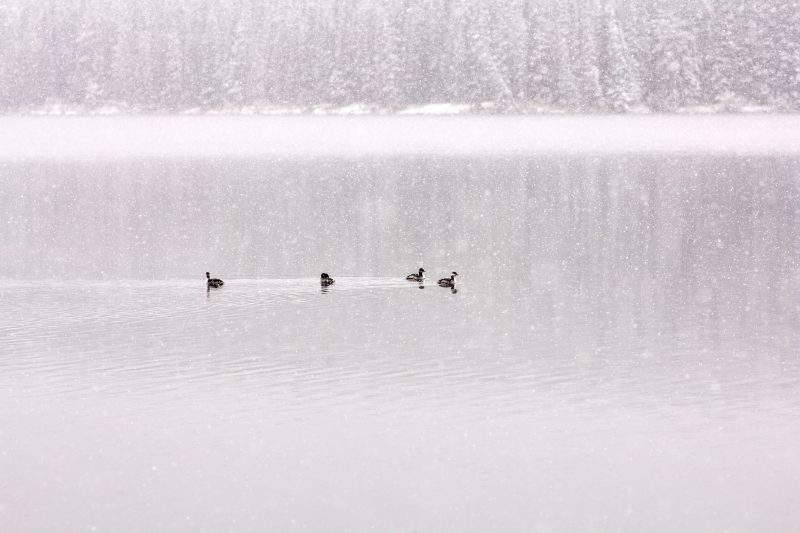 Ducks in the Snow on Fish Lake