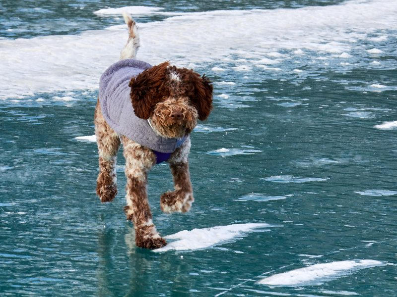 Neptune the Lagotto on Ice