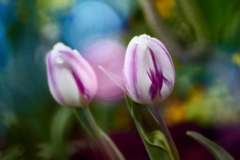 Bokeh Tulips