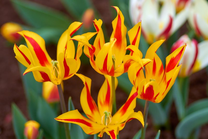 Flaming Tulips